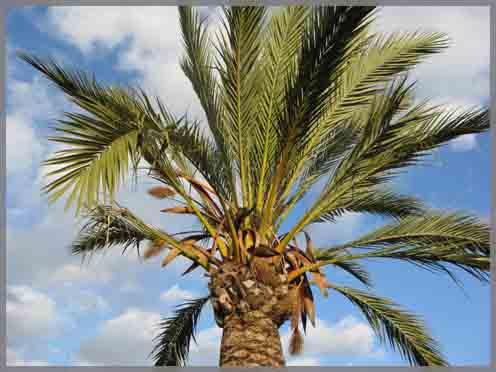 Menorca palm